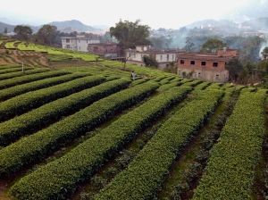 A team farm in rural Anxi, Fujian province. The Chinese government has